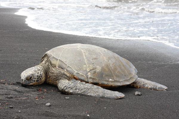 Punaluu Black Sand Beach - Turtle