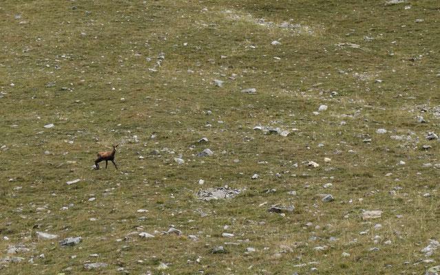 Quand la curiosité s'empare d'un chamois...