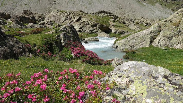 Au plan de Valfourche...les rhododendrons fleurissent sur les rives de la Romanche.