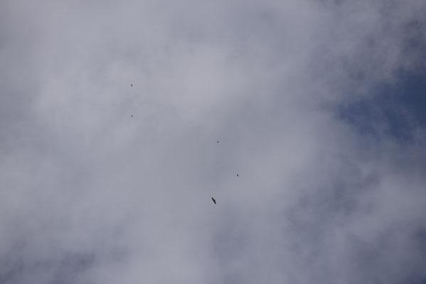 Chocards réunis pour faire fuire un couple d'aigle royal de passage au-dessus du refuge ! Pour une fois les plus petits auront le dernier mot !