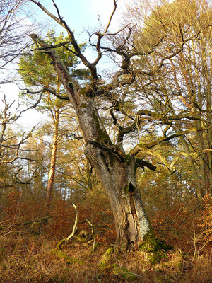 Eine alte Eiche in der Schorfheide – wie aus einem Märchen...