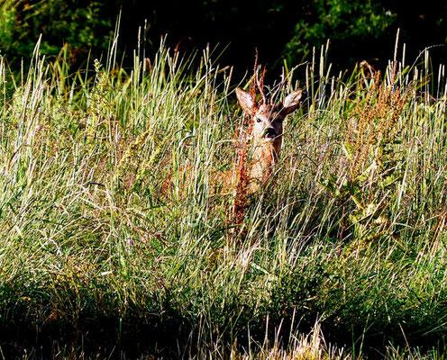 Rehock im hohen Gras