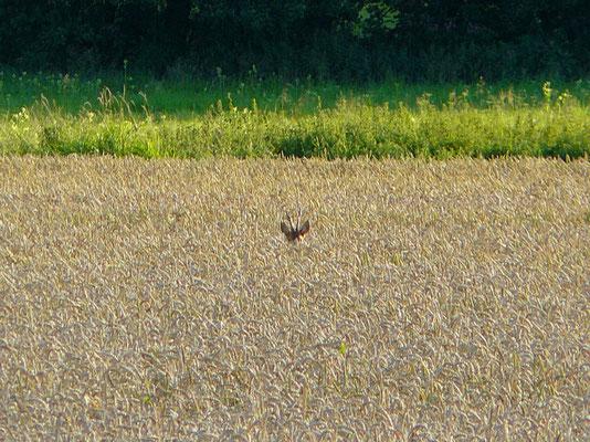 Ein Böckchen stand im Felde...