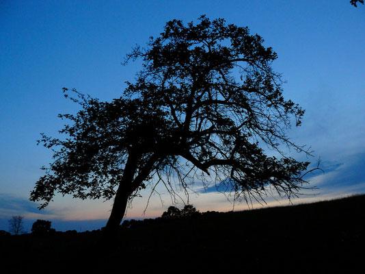Ein Kunstwerk – der alte Apfelbaum fügt sich in die hügelige Landschaft ein, sein Astgebilde lässt in der Phantasie Figuren erkennen...