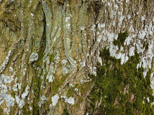 von Moosen und Flechten geprägter Baum