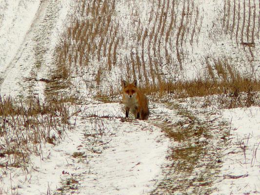 ein überraschter Fuchs