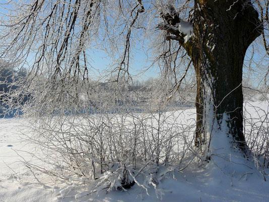 Schneeverzauberte alte Linde