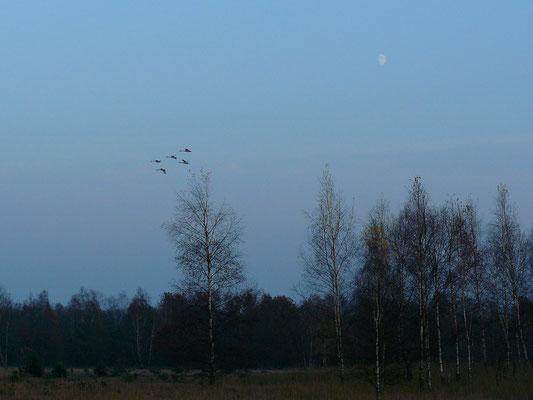 Singschwäne fliegen in der Abenddämmerung der Heide hinüber zum See.