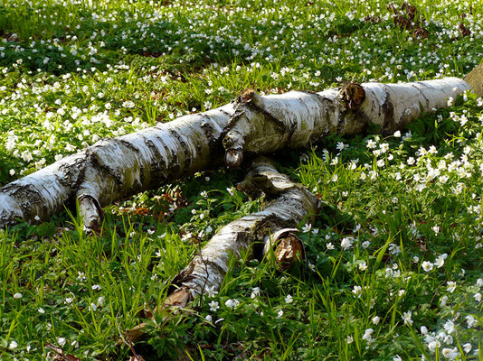 Birken-Stillleben mit Anemonen (Buschwindröschen)