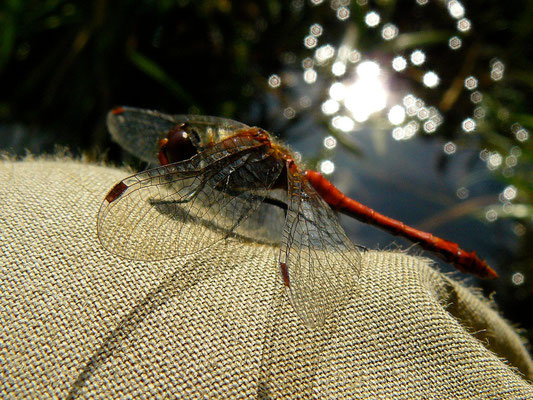 Libelle beim Sonnetanken