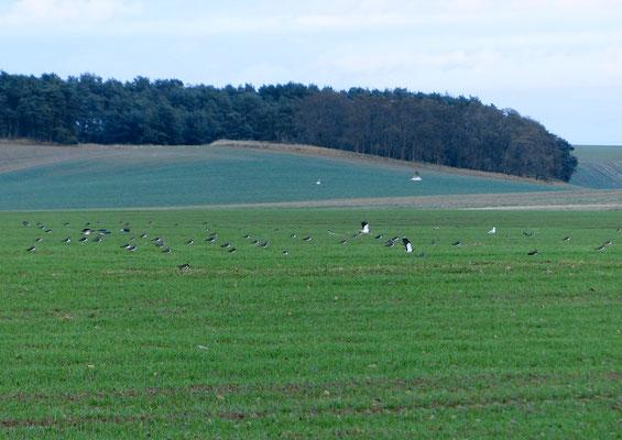 Kibitze und Möwen auf Feldern