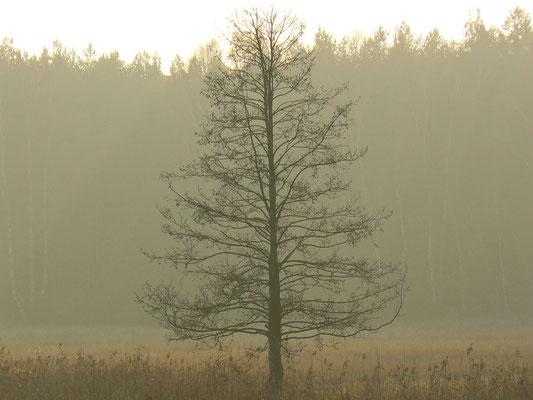 Eine Erle im Nebelgewand