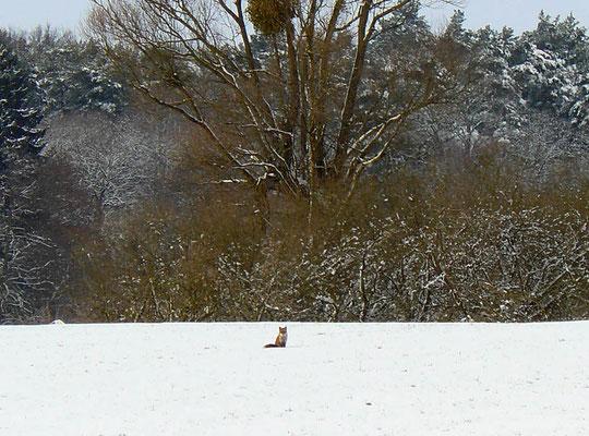 Der eitle Fuchs