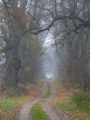 alte Lindenallee im Nebel