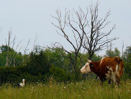 Kuh und Storch...