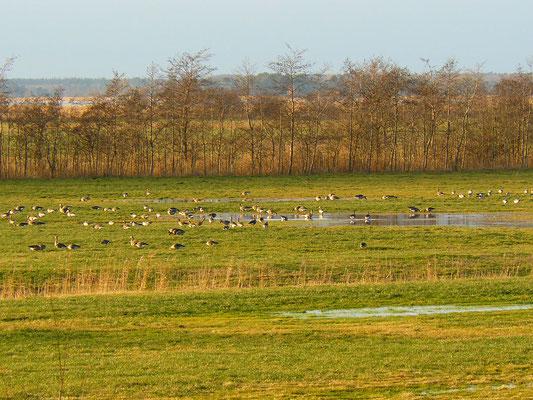 Wildgänse auf den Boddenwiesen der Halbinsel Darß
