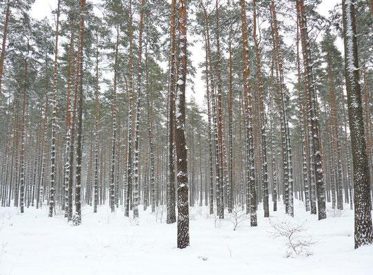 Föhrenwinterwald