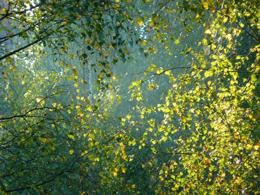 Birkenblätterleuchten
