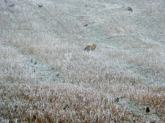 Drosseln, die den Fuchs ärgern mit gewagten Tiefflügen