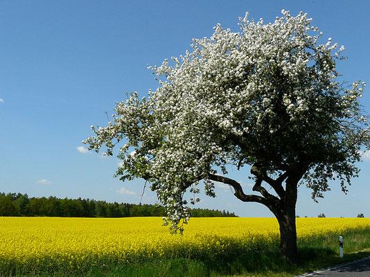Maibild mit Leuchtkraft und heute selten gewordene Apfelbaum-Allee
