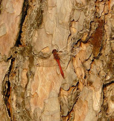 Libelle nimmt die letzten warmen Sonnenstrahlen auf