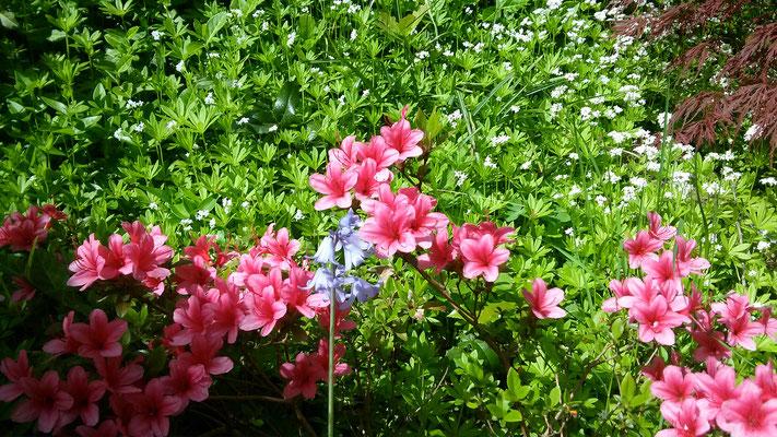Blaues Hasenglöckchen vor rosa Azalee