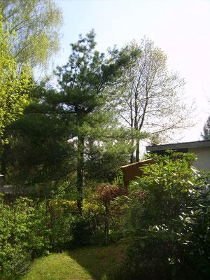 Weymouthkiefer, rechts Haus mit Terrasse
