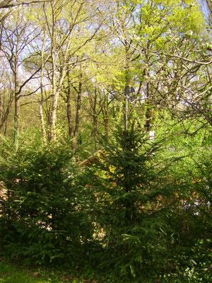 Unterholz mit Eiben