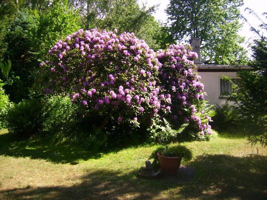 Der ca. 40jährige Rhododendron in voller Blüte