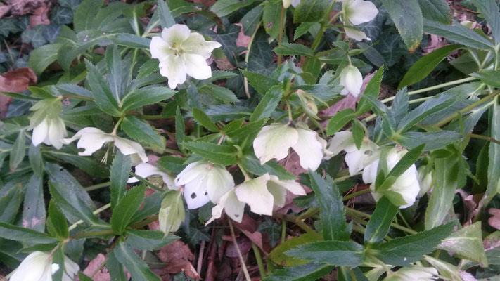 Pflanzen an der Terrasse: Christrose in weiß