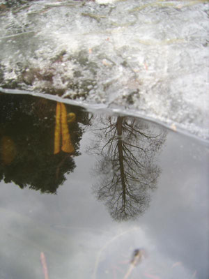Winter im Waldgarten (Spiegelung im halb zugefrorenen Teich)