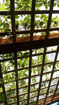 Terrassendachbeschattung durch wilden Wein