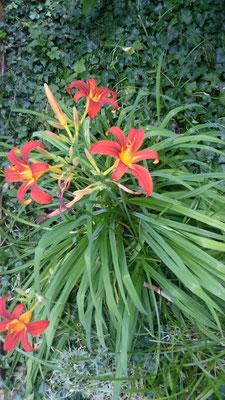 Pflanzen an der Terrasse: Taglilie