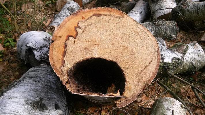 Hier sieht man gut den fortgeschrittenen Pilzbefall. Der Stamm weist praktisch kein gesundes Holz mehr auf und war teilweise hohl.