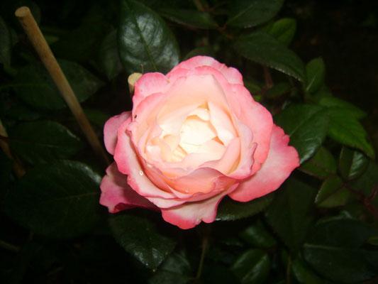 """Rose """"Nostalgie"""""""
