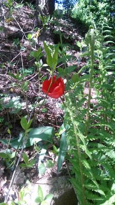 Tulpe und frischer Farnaustrieb