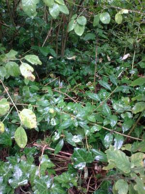 Es galt, eine 25 cm dicke Pflanzendecke zu durchdringen,...