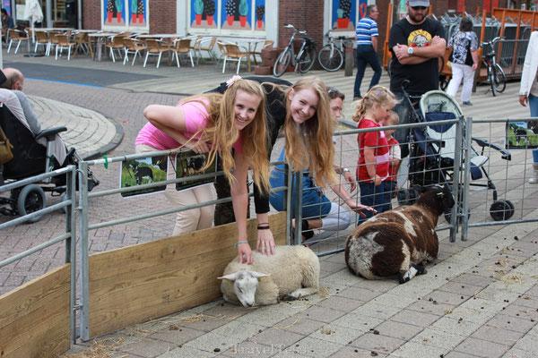 Schaapje aaien in Nieuwvliet-Bad