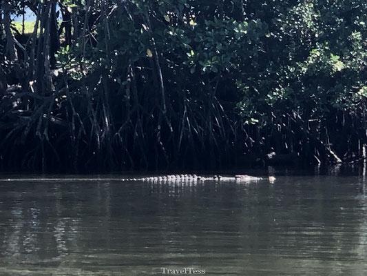 krokodillen safari cairns