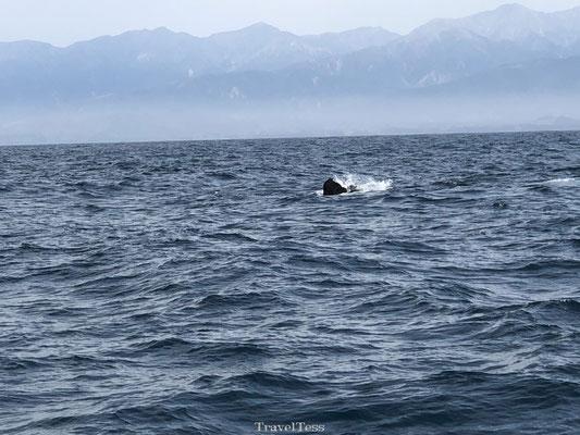 Walvissen staart Kaikoura