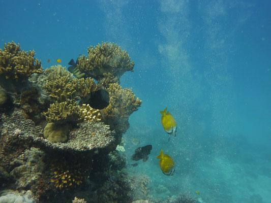 Koraal Great Barrier Reef
