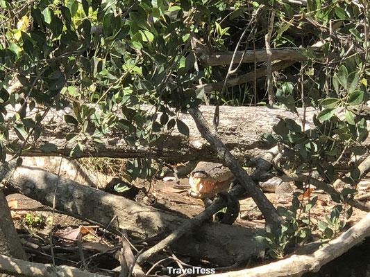 Wilde krokodil Australië