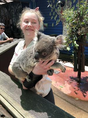 Koala aaien Dreamworld