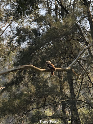 Wilde vogel in Blue Mountains National Park