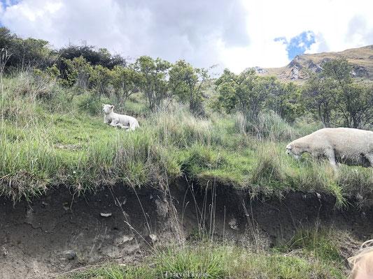 Schapen in Wanaka