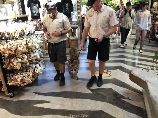 Tijger wordt uitgelaten in attractiepark