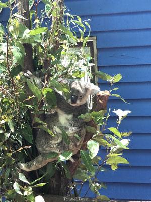 Koala in Dreamworld