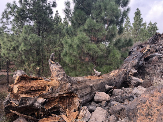 Gevallen boom op de route