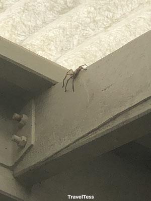 Grote Australische spin op Fraser Island