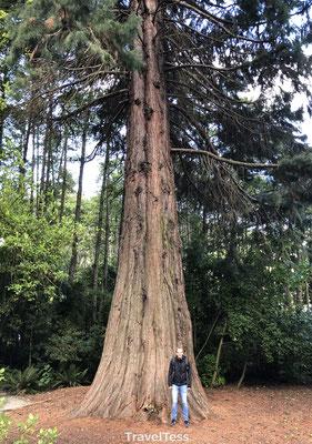 Grote boom Nieuw-Zeeland